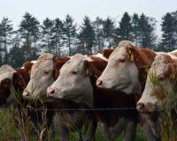 Τη λήψη μέτρων ζητά από τους κτηνοτρόφους η περιφέρεια Κεντρικής Μακεδονίας μετά τα κρούσματα αφθώδους πυρετού στην Τουρκία