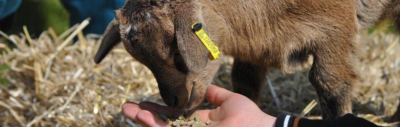 Η κτηνοτροφία του αύριο: Η ιστορία και το μέλλον των ζωοτροφών