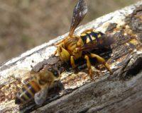 Αδηφάγος «τεθωρακισμένη» μέλισσα σφήκα στην Λήμνο (φώτο και βίντεο)