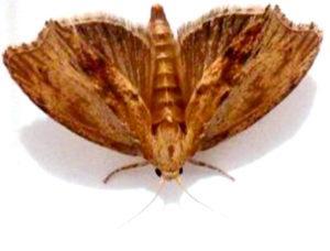 petalouda1