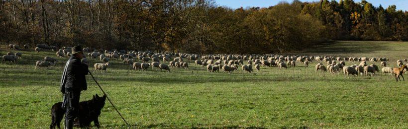 Οι μετακινούμενοι κτηνοτρόφοι μαστίζονται από τις καιρικές συνθήκες, τη μείωση γάλακτος και τους λύκους