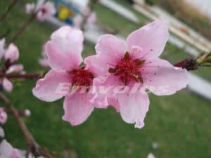άνθη-ροδακινιάς