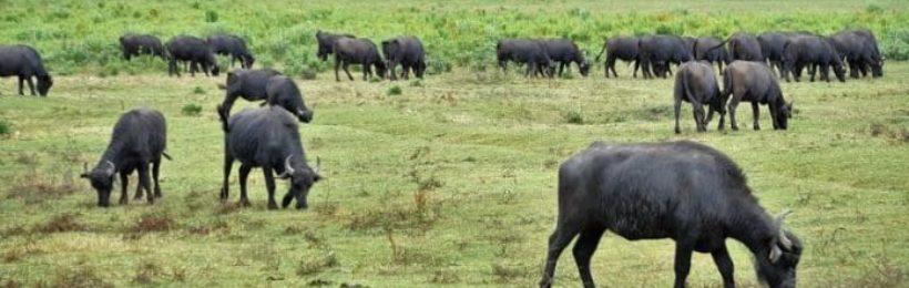 Κτηνοτροφία: Πολύ μεγάλες οι αντιδράσεις από τις εξισωτικές αποζημιώσεις