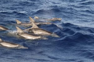 στενόρυγχο_δελφίνι