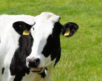 Παραγωγοί και κτηνοτρόφοι σε αδιέξοδο μετά την κρίση του γάλακτος