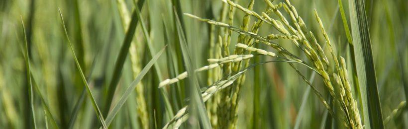 Στα 260 ευρώ ανά εκτάριο καθορίστηκε η συνδεδεμένη ενίσχυση για το ρύζι