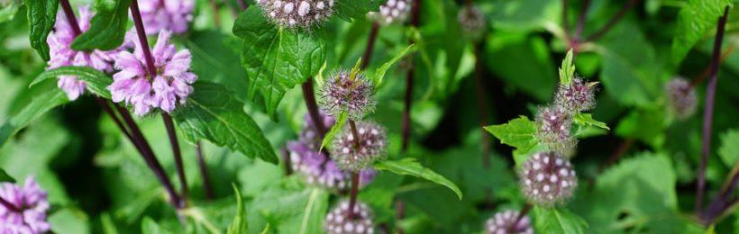 Ενίσχυση του κλάδου Αρωματικών και Φαρμακευτικών φυτών