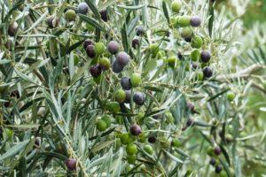 ελιά, ελαιόδεντρο, ελαιοπαραγωγοί, ημερίδα, χαλάζι