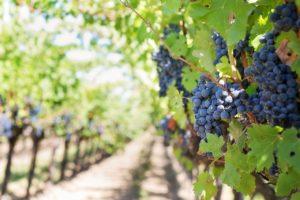 ampeli_1, grape, σταφύλι