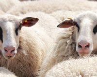 Mείωση στις ποσότητες πρόβειου κρέατος που διατέθηκαν στην αγορά