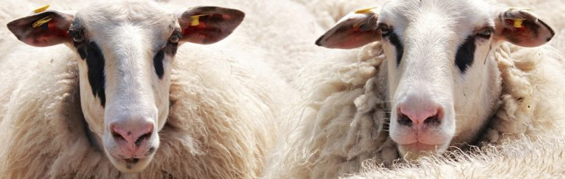 Ελαχιστοποίησης της χρήσης αντιβιοτικών στα πρόβατα