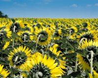 Αναδρομικά μείωση του ΦΠΑ σε 13% για συναλλαγές με άνθη και φυράματα