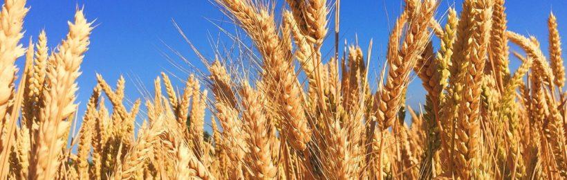 Μείωση στην παραγωγή δημητριακών αναμένει η ΕΕ