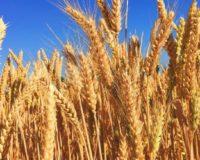 Αδράνεια στο μέτωπο των εξαγωγών τεστάρει τις αντοχές στο σκληρό σιτάρι