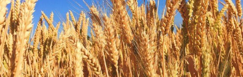 Ψηλότερα μπαίνει ο πήχης για τα σκληρά σιτάρια της Βόρειας Ελλάδας