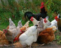 Ανακοίνωση  για τη γρίπη των πτηνών