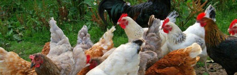 Μη συμμορφούμενα προϊόντα βιολογικής πτηνοτροφίας