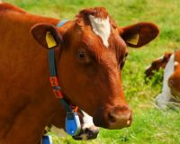 Μελέτη συμπεριφοράς των αγελάδων γαλακτοπαραγωγής