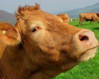 Αύξηση αριθμού βοοειδών – Μείωση αιγοπροβάτων στη χώρα μας το 2016, σύμφωνα με την ΕΛΣΤΑΤ