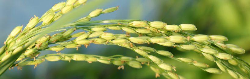 Ένα βήμα πιο κοντά στην υλοποίηση η Εθνική Διεπαγγελματική Οργάνωση ρυζιού