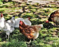 Πραγματοποίησε την Τετάρτη 10 Ιουνίου συνάντηση του Μάκη Βορίδη με τη νεοσύστατη Εθνική Διεπαγγελματική Οργάνωση Πτηνοτροφίας