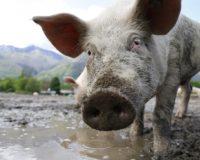 Για διασυνοριακές ασθένειες των ζώων προειδοποιούν οι υπουργοί γεωργίας της Ε.Ε.