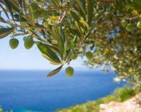 Κρήτη: Χρήση ευφυούς γεωργίας για την ενίσχυση της παραγωγής ελαιολάδου