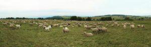 αιγοπρόβατα, κτηνοτροφία,πρόβατα, βιολογική, κτηνοτροφία