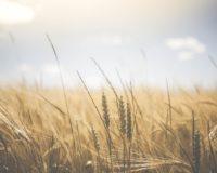 Διαρκή άνοδο των τιμών στην παγκόσμια αγορά των σκληρών σιτηρών
