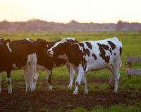 Έντονη αγανάκτηση των παραγωγών αγελαδινού γάλακτος