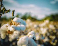 H τιµή του βάμβακος έµεινε πίσω τη φετινή χρονιά στη Μακεδονία