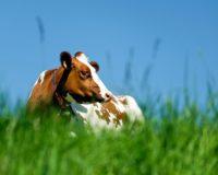 Στις πρωτεϊνούχες ζωοτροφές υψηλής ποιότητας, χαμηλή η αυτάρκεια της Ε.Ε