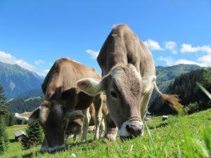 αγελάδα, φέτα, γάλα