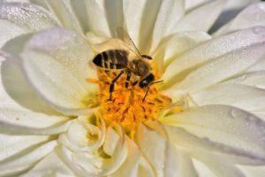 μέλισσα, μέλι, λουλούδι, άνθος