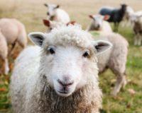 Γενναιόδωρο πριμ από την ΕΕ για έξοδο των προβατοτρόφων από το επάγγελμα