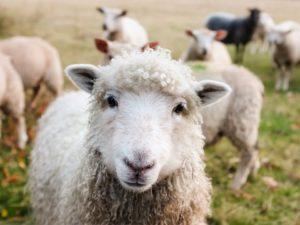 sheep,πρόβατα, κτηνοτροφία