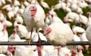 γαλοπούλας, turkey, πτηνοτρόφοι