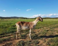 Θεσσαλοί κτηνοτρόφοι: Ετήσιες συμβάσεις προτείνουν ως λύση για το αιγοπρόβειο γάλα