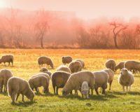 Ικανοποιημένοι οι Θεσσαλοί κτηνοτρόφοι από τον νέο Νόμο για τα ΠΟΠ, ενώ περιμένουν τα 4 ευρώ