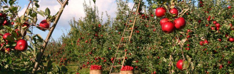Μέτρα φυτοπροστασίας για τα μηλοειδή