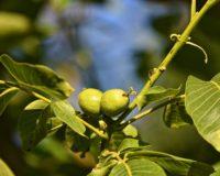 Τα καλλιεργικά μέτρα για τη χειμερινή περίοδο των πυρηνόκαρπων