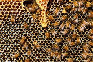 μέλισσες