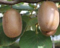 Ακτινίδιο: Θετικά εξελίσσεται η καλλιέργεια του