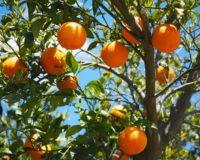 ΕΕ: Την τρίτη θέση κατέλαβε η Ελλάδα στην παραγωγή πορτοκαλιών