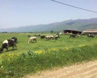 """Βιολογική φάρμα εκτροφής αγελάδων """"Ευάγγελος Ματούλας"""""""