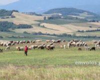 Πως μπορούμε να διαχειριστούμε καλύτερα την ξηρά περίοδο των αιγοπροβατίνων