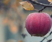Να ληφθούν όλα τα μέτρα που θα εξασφαλίσουν την απρόσκοπτη ύπαρξη εργατικών χεριών για την συγκομιδή των μήλων στην επαρχία Αγιάς