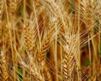 Η καλλιέργεια του σκληρού στην Ελλάδα σιταριού αυξάνεται έως και 30%