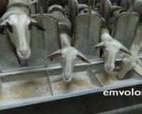 Κτηνοτροφία: Επίσκεψη στη Φάρμα Παπαμιχαήλ – Από την εκτροφή προβάτων στην τυροκόμιση -βίντεο – φωτο