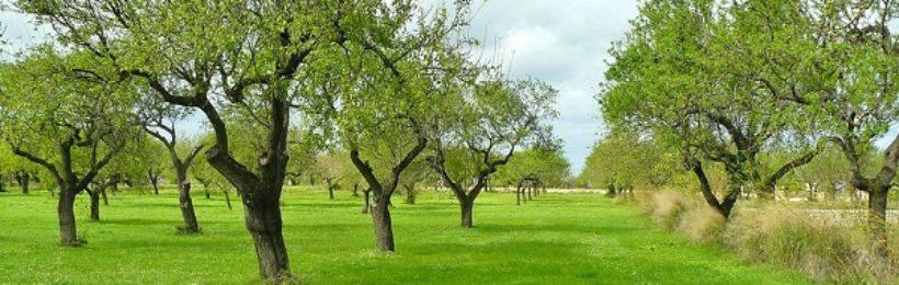 Ελιά: Ξεκίνησε η πιστοποιημένη φυτεία της